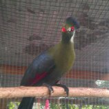 Turaco - White Cheek