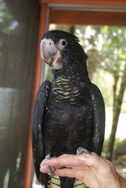 Gorgeous young female Red Tail Black Cockatoo.. she is a 2015 hatch and is very tame and personable. Also, have an unrelated male Red Tail and they can be sold as a pair