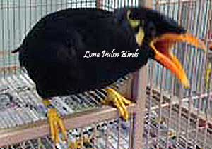 Mynah - Greater Indian Hill