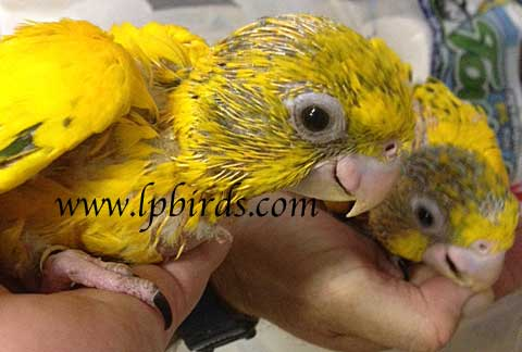 Beautiful Golden Conure babies... Now accepting reservations for 2016 Golden babies. Contact us now to get your name on the list to bring home one of these beauties. **Please note, FLORIDA SALES ONLY without ESA permit**